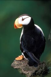 Horned puffin Photo
