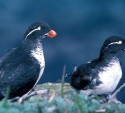 Least auklets Photo