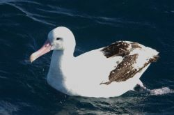Wandering albatross Photo