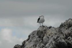 Black-backed gull Photo