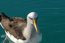 Mollymawk - a medium-sized albatross of the genus Thalassarche Photo