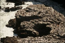 Common murre colony Photo