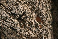 Common murre colony Photo