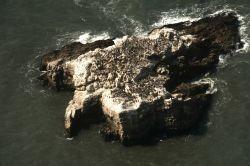 A common murre colony on an offshore rock Photo