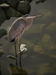 A great blue heron Image