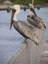 Pelicans on a fence Photo