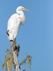 Great egret (Ardea alba) Photo