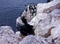 A red-faced cormorant in the foreground and murres Photo