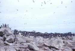 A colony of murres Photo