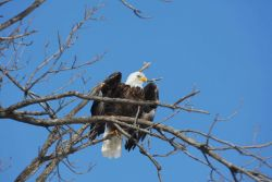 Bald eagle perched in a tree Photo