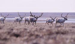 Part of a large herd of caribou (Rangifer tarandus) Photo