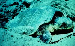 Turtle laying eggs Photo