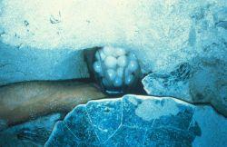 A sea turtle clutch Photo