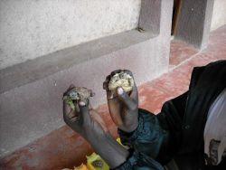 Baby tortoises Photo