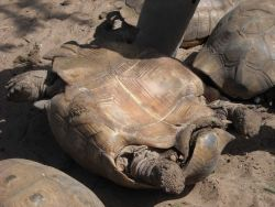Male tortoise Photo