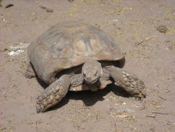 A sulcata tortoise (Geochelone sulcata) , a land-dwelling reptile native to Northern Africa Photo