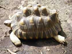 A sulcata tortoise (Geochelone sulcata) , a land-dwelling reptile native to Northern Africa. Photo