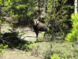 A moose seen just off the highway on Cameron Pass on Colorado Highway 14. Image