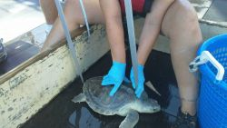 Trained NOAA scientists measure the carapace length of this unexpected catch Photo
