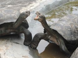 Giant Galapagos tortoises. Photo