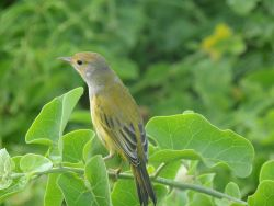 A yellow finch, a member of the group known as Darwin's finches. Photo