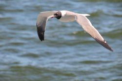 Laughing gull in flight. Photo