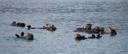 A group of sea otters together is known as a raft. Photo