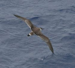 Shearwater skimming the water Photo