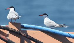 Caspian terns hitching a ride Photo