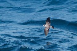 White-faced storm petrel Photo
