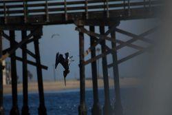 Pelican diving Photo