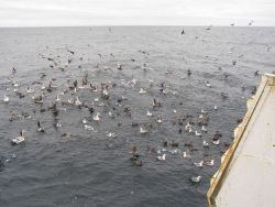 Albatross and other species Image