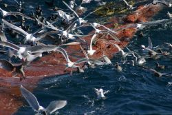 A profusion of seabirds looking for the proverbial free lunch as the cod end of a trawl is coming aboard. Image