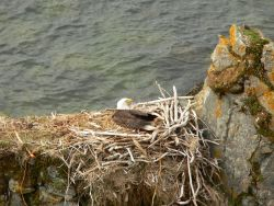 Bald eagle in nest. Photo
