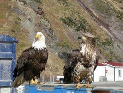 Bald eagle. Photo