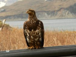 Bald eagle. Photo