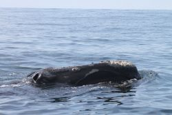 Northern right whale showing blow holes and callosities. Photo