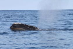 Northern right whale blowing showing baleen and callosities. Photo