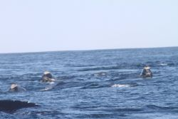 A pod of northern right whales. Photo
