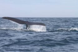 Northern right whale tail. Photo