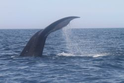 Northern right whale tail during dive. Photo