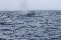 Northern right whale blowing with NOAA Ship OREGON II in background. Photo