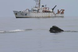 Head of northern right whale with NOAA Ship DELAWARE II in background. Photo