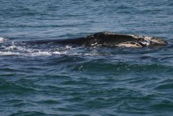 North Atlantic right whale Photo