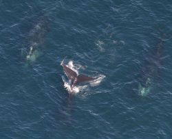 Three North Atlantic right whales Photo