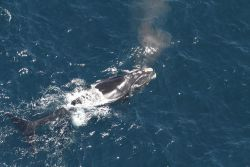 Arpeggio, born in 1997, taken by the NEFSC aerial survey team's Pete Duley. Image