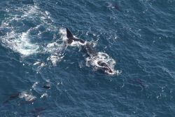 North Atlantic right whale amidst pilot whales Photo