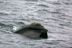 Right whale feeding Photo