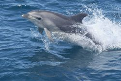 Bottlenose dolphin Photo