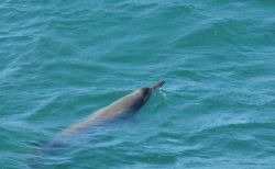 Sowerby beaked whale. Photo
